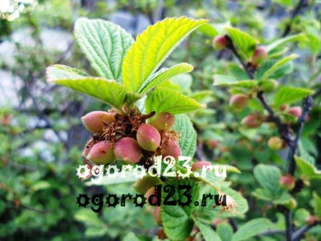 войлочная вишня, выращивание и уход 8