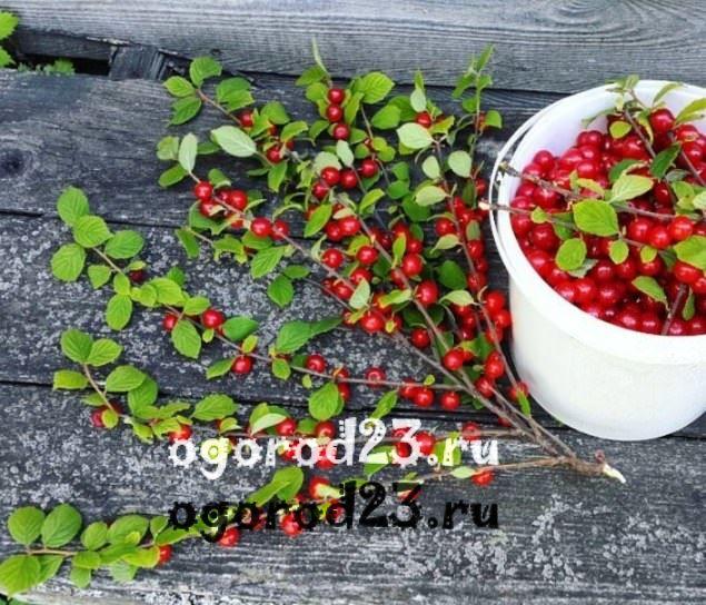войлочная вишня, выращивание и уход 10