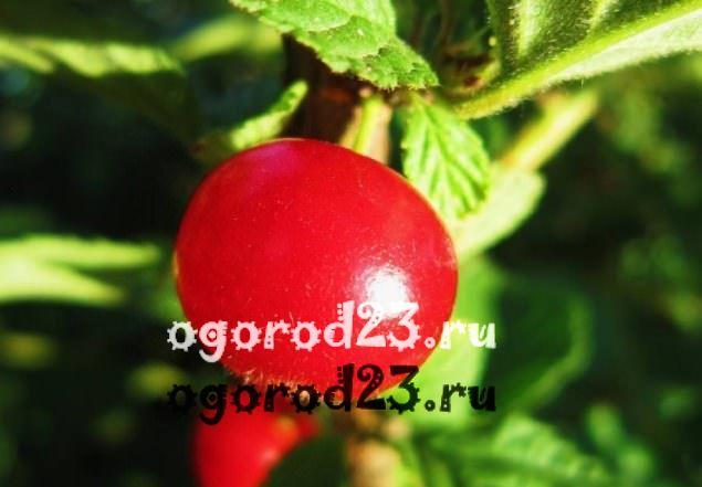 войлочная вишня, выращивание и уход 3