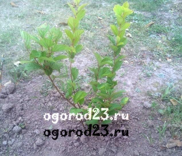 войлочная вишня, выращивание и уход 9