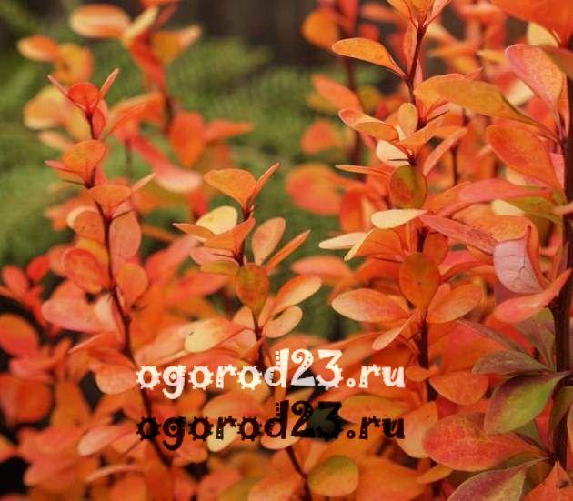 Декоративные кустарники для дачи, фото и названия 42