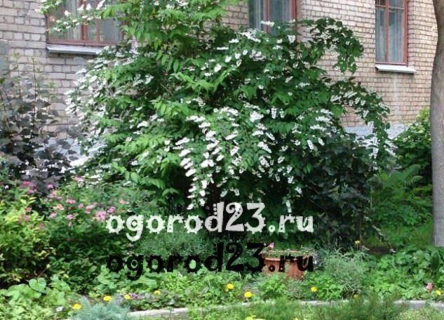 Декоративные кустарники для дачи, фото и названия 69
