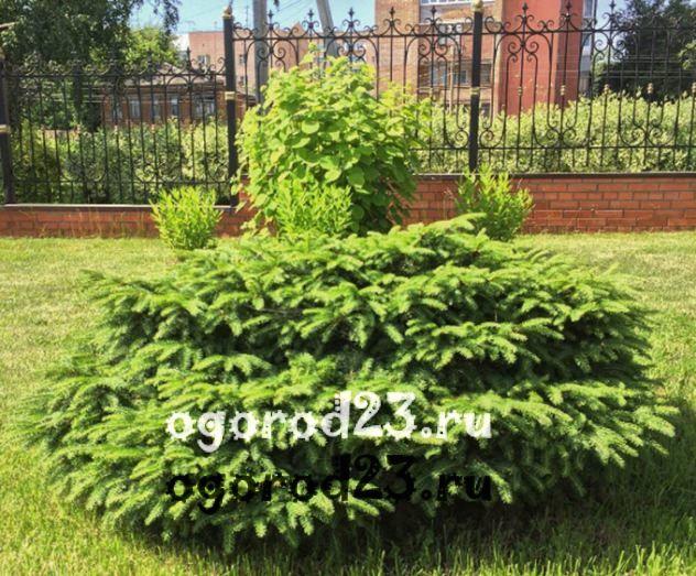 Декоративные кустарники для дачи, фото и названия 52