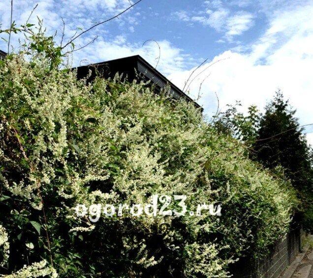 Декоративные кустарники для дачи, фото и названия 56