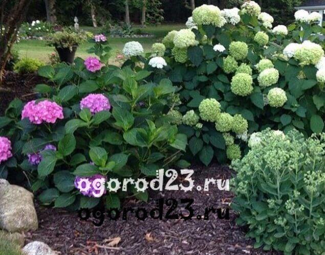 Декоративные кустарники для дачи, фото и названия 24
