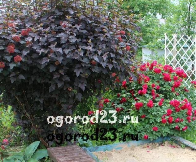 Декоративные кустарники для дачи, фото и названия 47