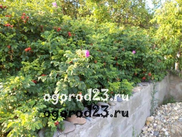 Декоративные кустарники для дачи, фото и названия 15
