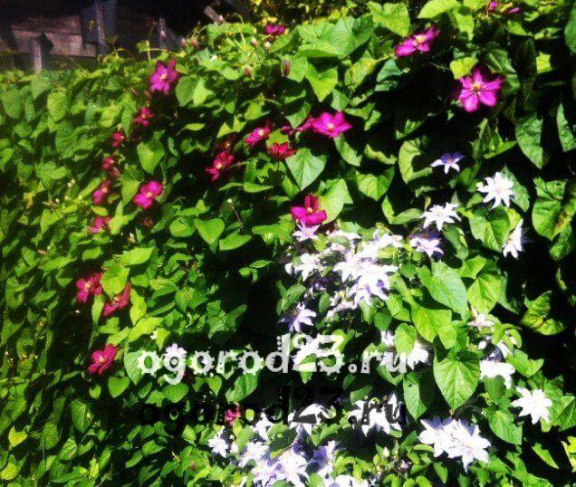 Декоративные кустарники для дачи, фото и названия 60