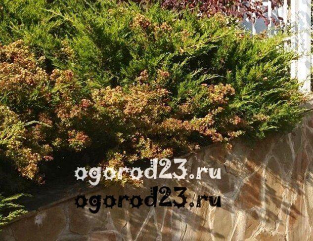Декоративные кустарники для дачи, фото и названия 55