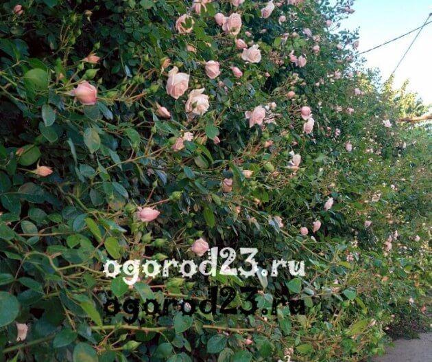 Декоративные кустарники для дачи, фото и названия 59