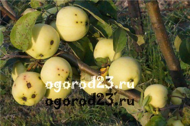 Парша на яблоках