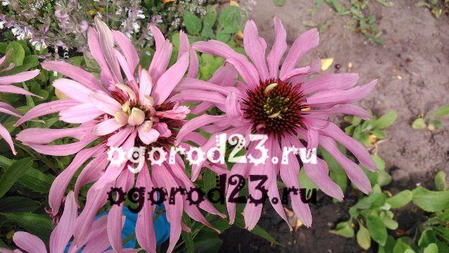 цветы похожие на ромашки 53