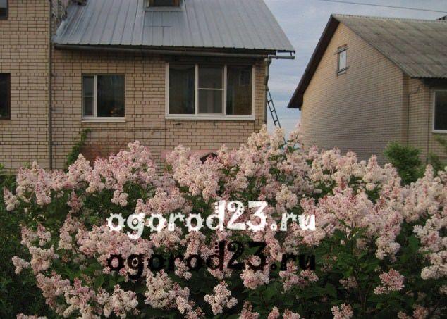 Декоративные кустарники для дачи, фото и названия 20