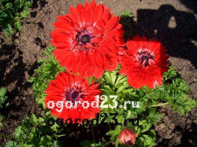 цветы похожие на ромашки 43