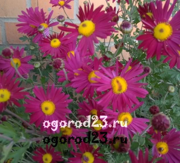цветы похожие на ромашки 42