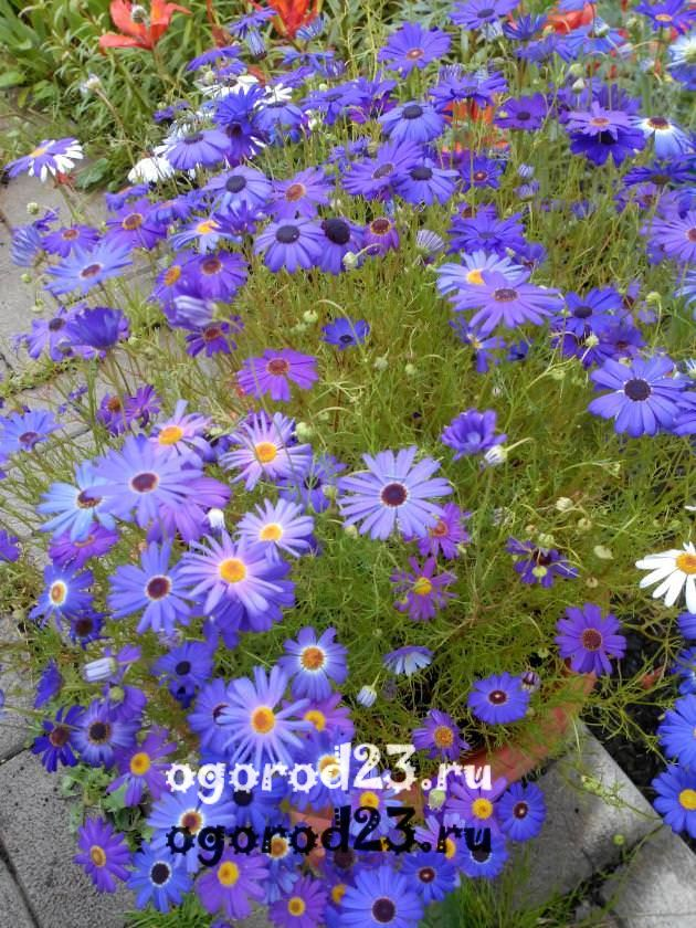 цветы похожие на ромашки 44