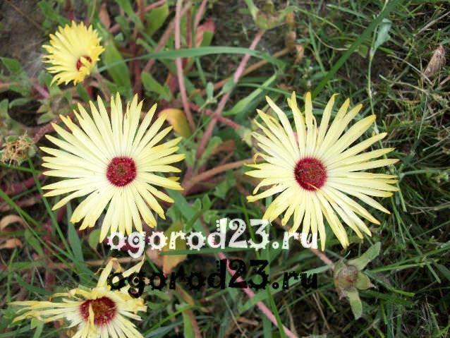 цветы похожие на ромашки 49