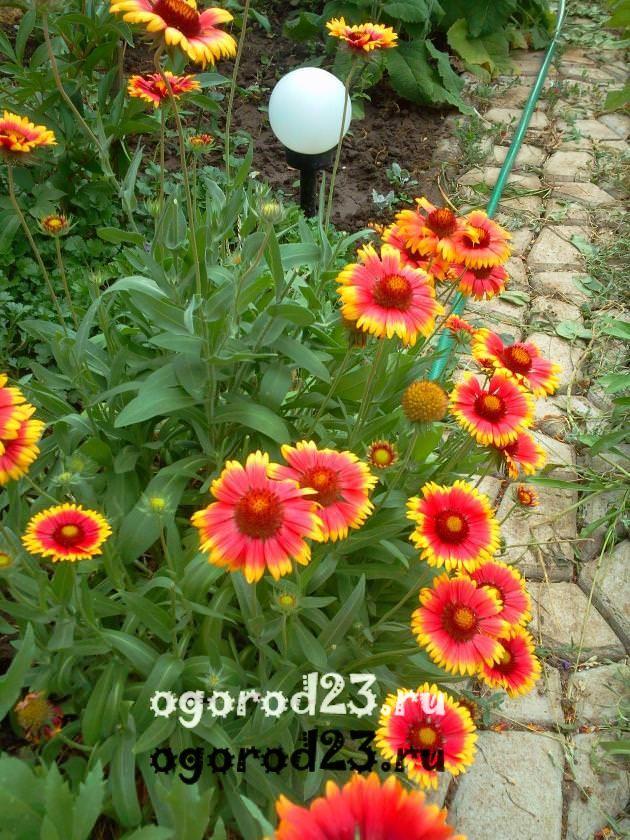 цветы похожие на ромашки 45
