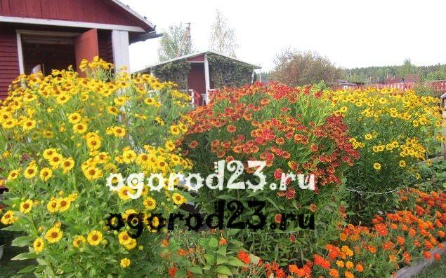 цветы похожие на ромашки 46