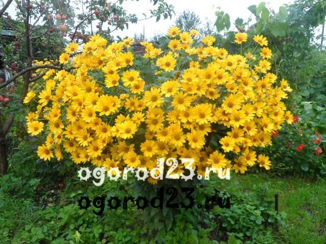 цветы похожие на ромашки 47