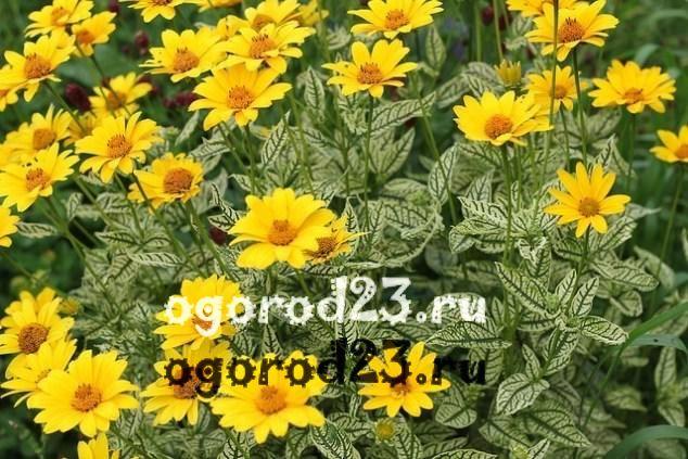 цветы похожие на ромашки 48