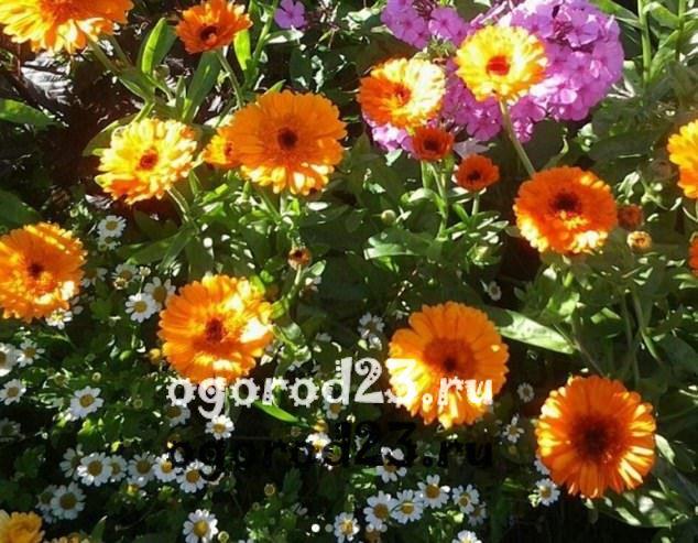 цветы похожие на ромашки 50