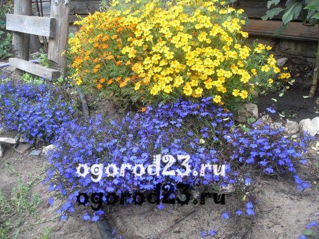 цветы похожие на ромашки 52