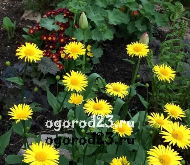 цветы похожие на ромашки 19