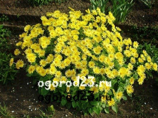 цветы похожие на ромашки 17