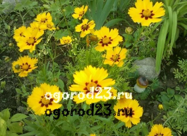 цветы похожие на ромашки 51