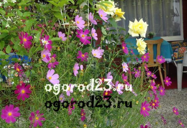 цветы похожие на ромашки 26