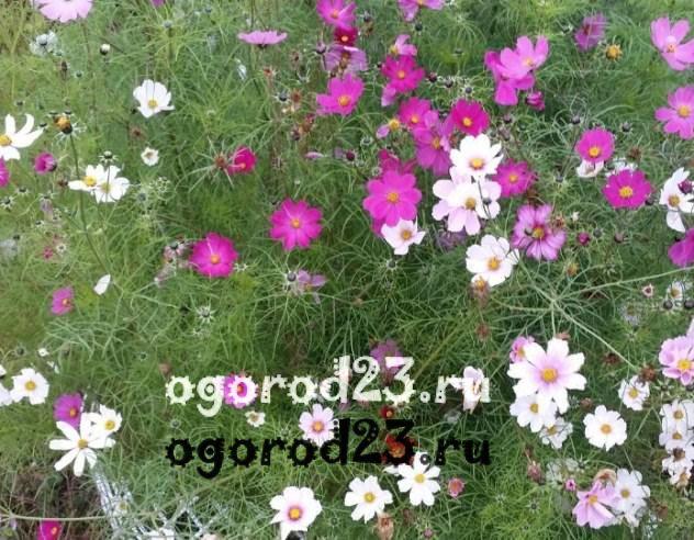 цветы похожие на ромашки 28
