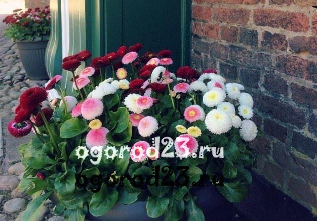 цветы похожие на ромашки 23