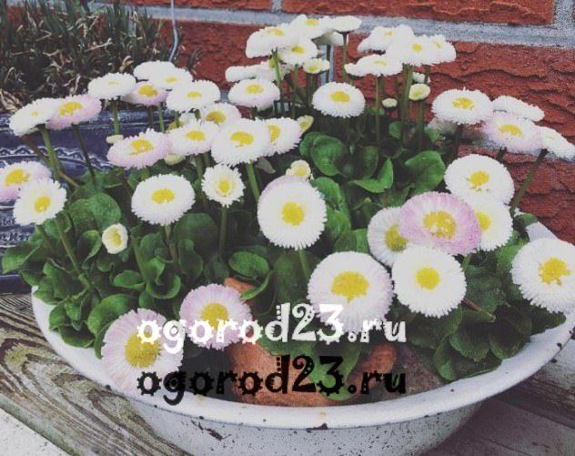 цветы похожие на ромашки 25