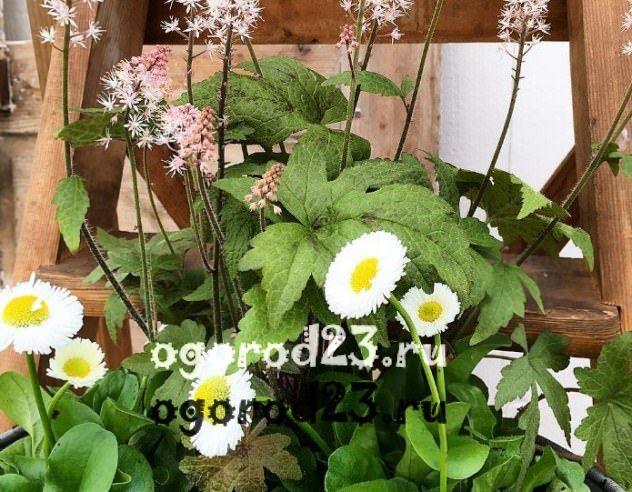 цветы похожие на ромашки 24