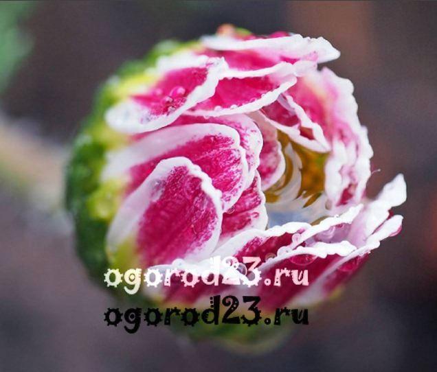 Лохматый цветок 4 буквы
