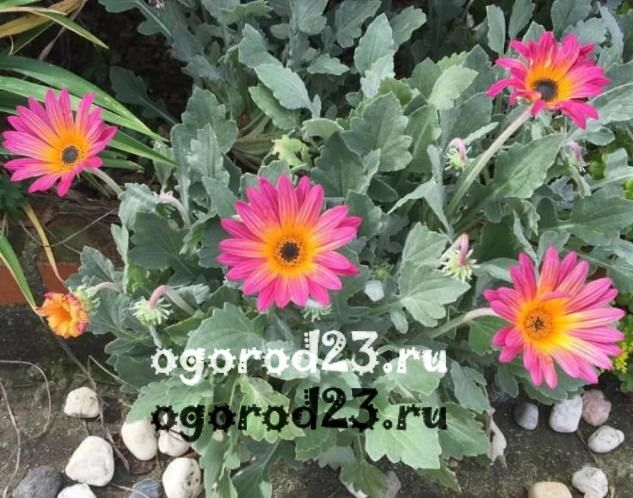 цветы похожие на ромашки 20