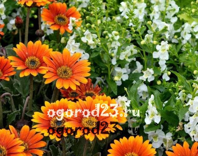 цветы похожие на ромашки 21