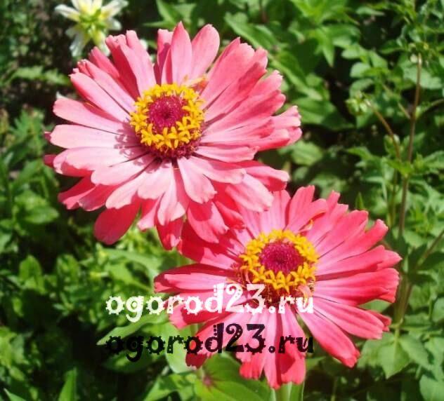 цветы похожие на ромашки 38