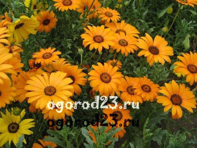 цветы похожие на ромашки 35
