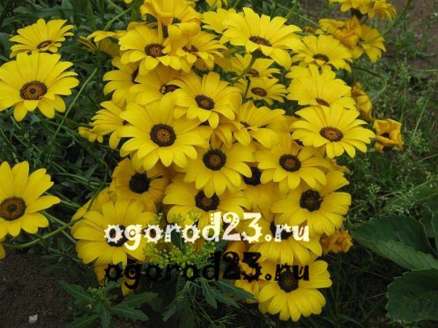 цветы похожие на ромашки 36