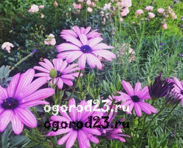 цветы похожие на ромашки 37