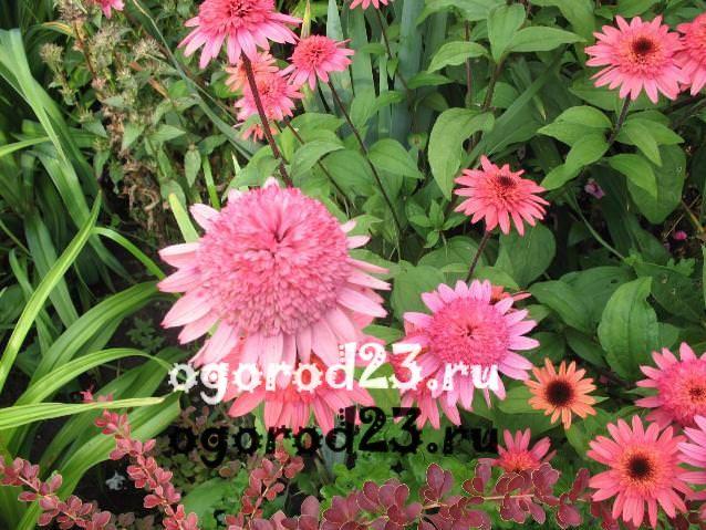 цветы похожие на ромашки 31