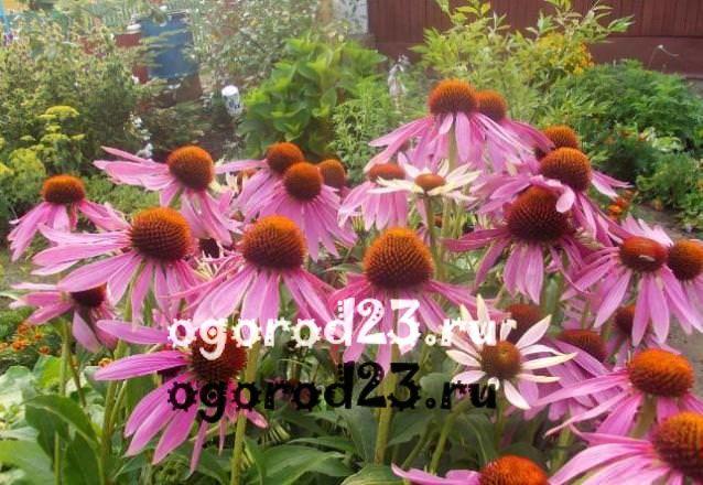 цветы похожие на ромашки 32
