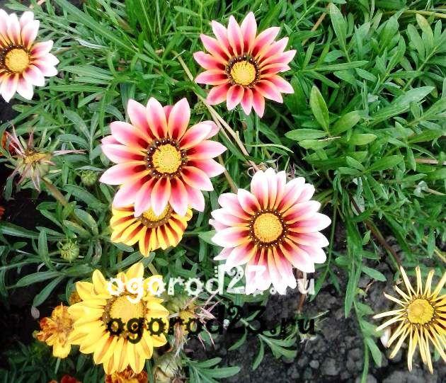 цветы похожие на ромашки 11