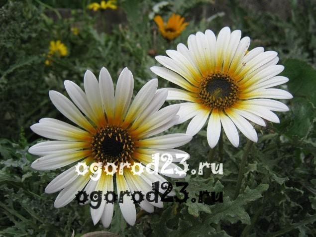 цветы похожие на ромашки 12