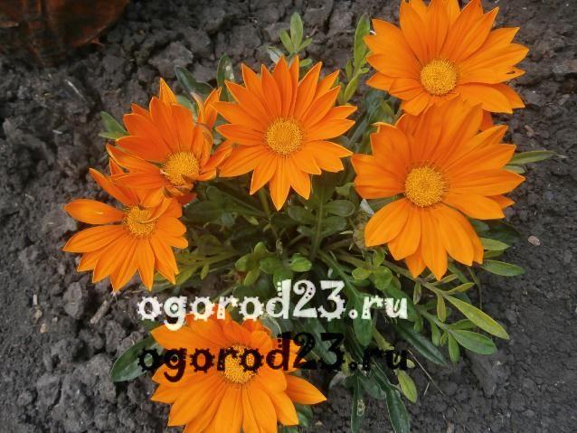 цветы похожие на ромашки 13