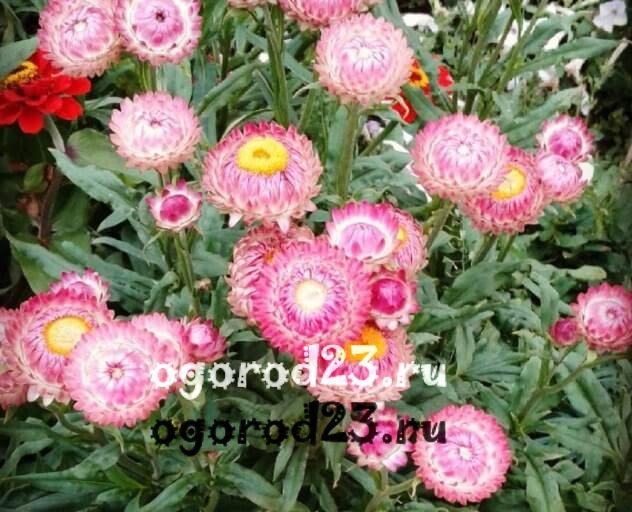 цветы похожие на ромашки 34