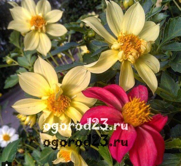 цветы похожие на ромашки 39