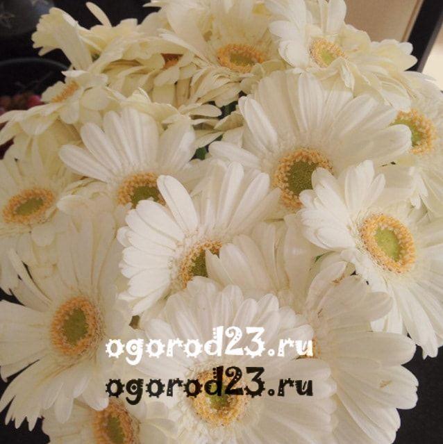 цветы похожие на ромашки 7